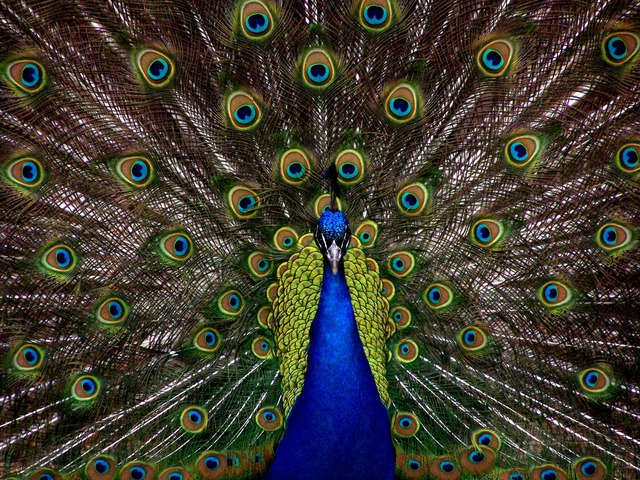 peacock-1868_640
